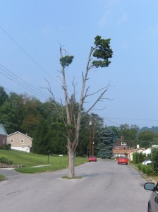 Picture of the imfamous tree in the middle of the road